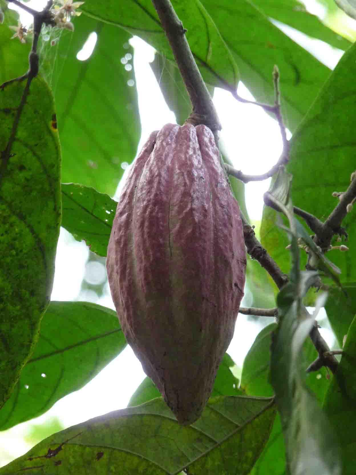 bedingungen beim kakaoanbau